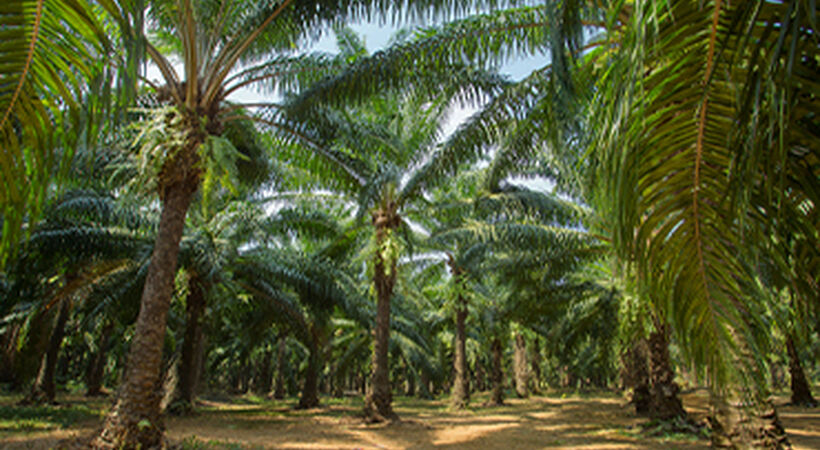 Sustainable palm oil certifier to review Indonesian bribery claims