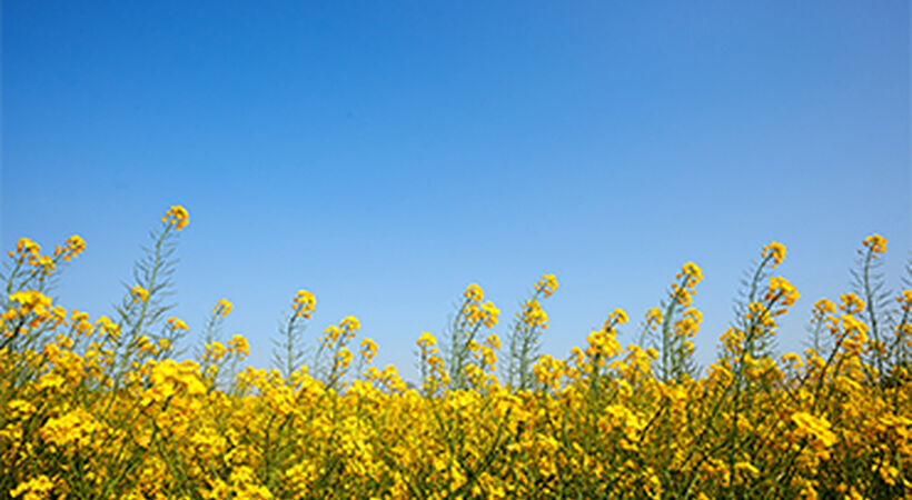Russia oilseed output forecast to rise