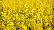 University of Calgary study produces new canola type with potential for higher yields