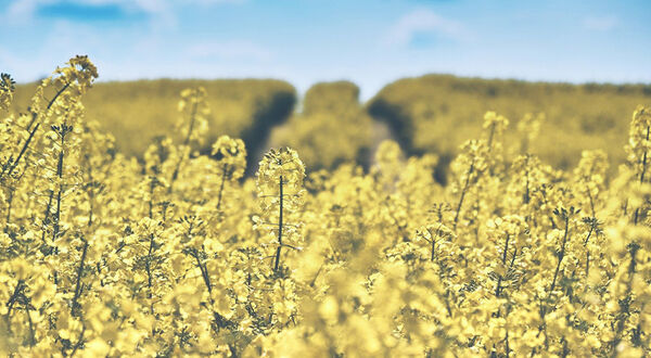EFSA gives favourable opinion on new rapeseed ingredient