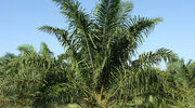 Rise in uptake of sustainable palm oil