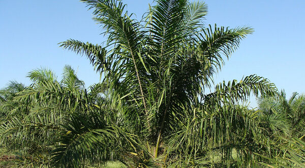 Lower oil palm deforestation rate in 2020