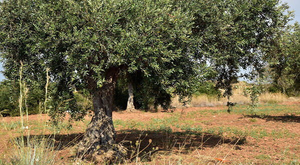 EC announces new measures to contain the spread of Xylella in the EU