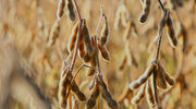 Bunge shares programme to monitor soyabean crops from its indirect supply chain in Brazil's Cerrado region